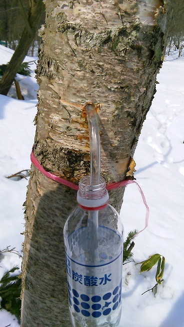 白樺の樹液